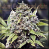 Female Pure AK Feminized 4 Marijuana Seeds